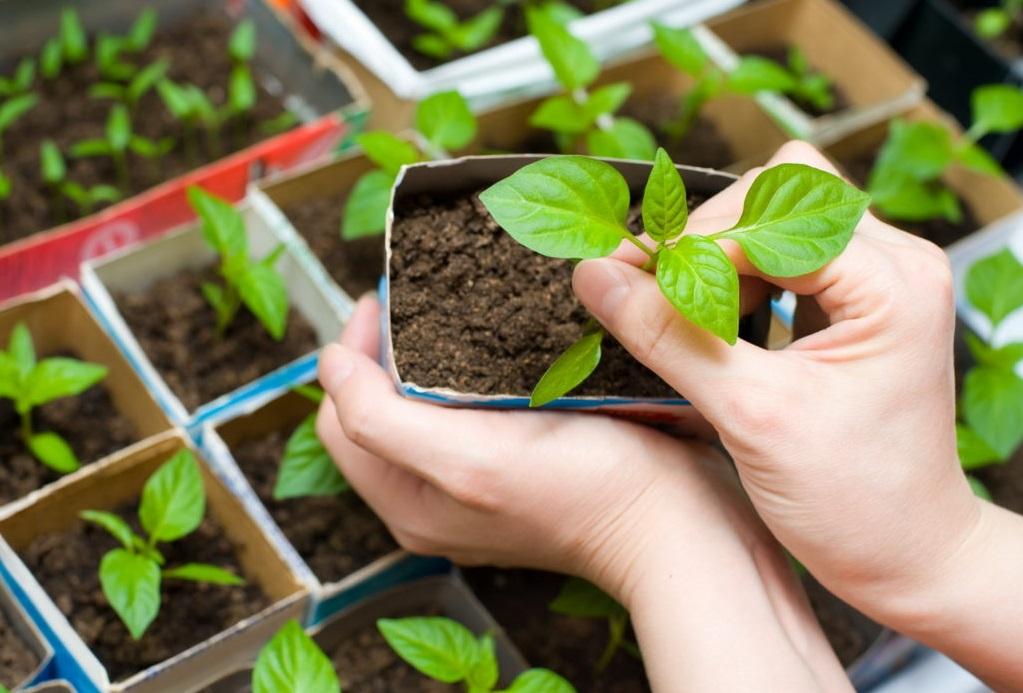 Выращивание рассады в домашних условиях: томаты, огурцы, перец, баклажаны, капуста, клубника и даже петунии. Все тонкости данного вопроса