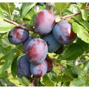 Слива - описание фрукта, польза и вред, состав, калорийность, рецепты и секреты выращивания