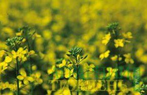 Выращивания капустных культур