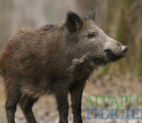 В Украине среди дикой фауны зафиксирован первый случай АЧС
