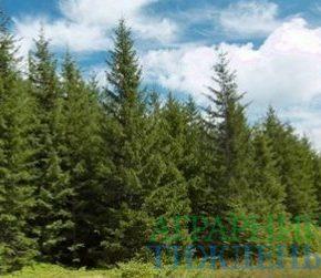 Гослесагентство внедрило дополнительные меры от незаконной вырубки елок в новогодний период