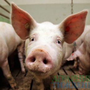 Из-за АЧС в Украине уничтожили почти 32 тыс. голов свиней