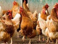 Китай снял запрет на импорт украинской птицы