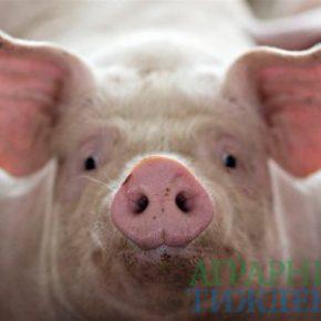 Несмотря на «проседание» количества свиноматок в стране, их производительность наоборот выросла
