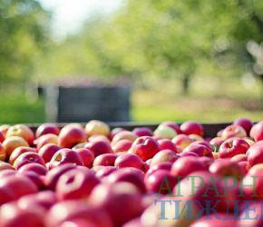 Украинские производители яблока делают акцент на экспорт в страны Ближнего Востока и Юго-Восточной Азии