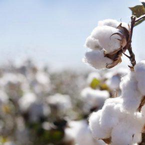 На Юге Украины появились зоны, где можно выращивать хлопчатник