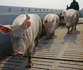 В Украину завозят польских свиней для убоя?