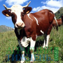 Фермерам напомнили о необходимости инвентаризации скота
