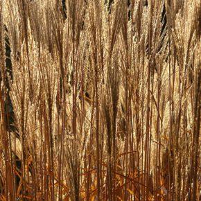 Бизнес по выращиванию мискантуса для биотоплива окупается за 4 года