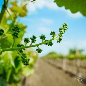 Винниччина становится перспективным регионом для выращивания винограда