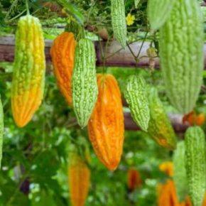 В Голландии выращивают новую овощную культуру