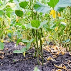 В Держпродспоживслужбі отчитались о состоянии посевов сои