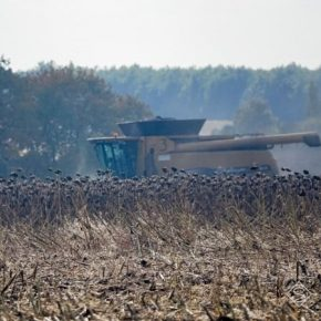 Неподалеку Херсона с поля украли 40 га подсолнечника