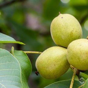 Садоводов ожидает щедрый урожай грецкого ореха — прогноз
