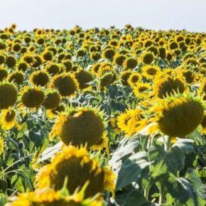 Аграрии Черкасской области увеличивают площади под високоолеїновим подсолнечником