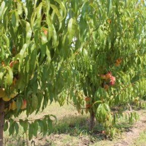 На Волыни начал плодоносить персиковый сад