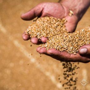 Летняя жара помешала получению рекордных урожаев пшеницы — Укргидрометцентр