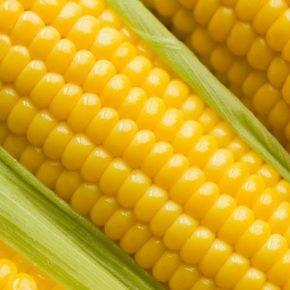 В Украине наблюдается дефицит семян сахарной кукурузы — селекционер