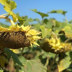 На Черкасщине в этом году прогнозируют рекордные урожаи подсолнечника