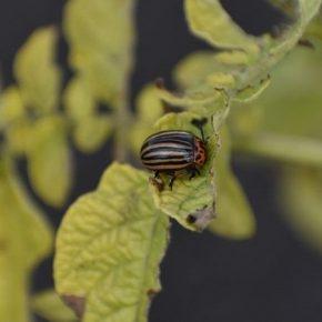 На полях возросла вредоносность колорадского жука
