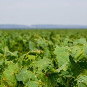 Черкасские агрометеорологи обнародовали прогноз урожая сахарной свеклы