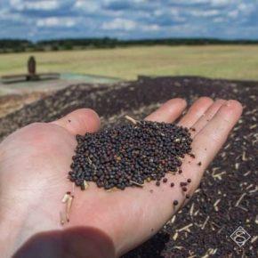 Отечественным аграриям прогнозируют рекордный урожай рапса