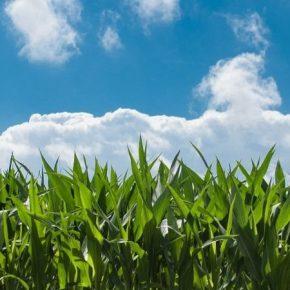 В 2020 году BASF выводит на рынок Украины два новых препарата для зерновых