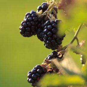 Названы шесть составляющих успешного выращивания ежевики