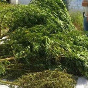 Херсонские наркоплантатори выращивали коноплю на капельном орошении