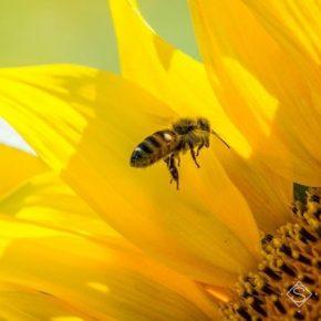 Из-за отравления пестицидами в Украине погибло 40 тысяч пчелосемей