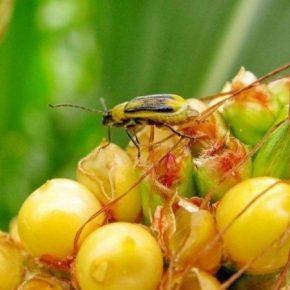 В Украине обнаружены новые очаги распространения кукурузного жука