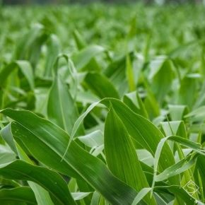 Площади посева кукурузы в Украине выросли почти на 10% — аналитики