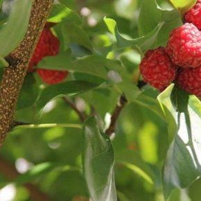 Экзотическая кудранія имеет перспективы к выращиванию на юге Украины
