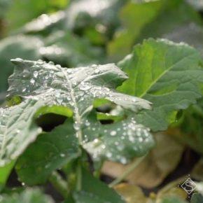 Эксперт рассказал, как защитить озимый рапс от перерастания осенью