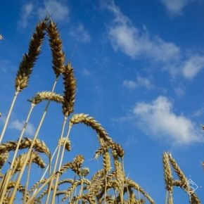 Ученые НААН проверили устойчивость озимой пшеницы к погодным условиям