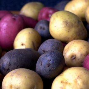 Специалист рассказала об особенностях выращивания и селекции цветной картофеля