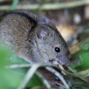 На полях зафиксирован резкий рост популяции мышей