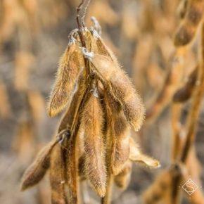 Перед уборкой сои аграриям советуют проводить десикацию посевов