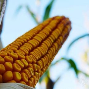 Прогноз производства зерновых в Украине снижены из-за засухи — USDA