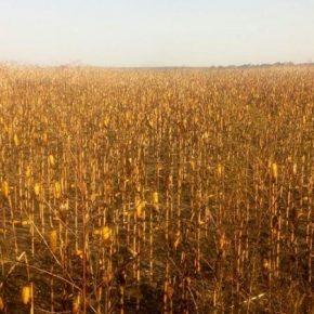 В Полтавской области огнем уничтожено более 20 га кукурузы
