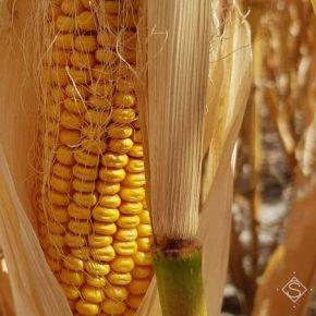 Снижение урожайности кукурузы в этом году неизбежно — агрономы