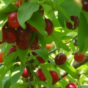 Крупнейший производитель кизила в Украине завершил собирать урожай