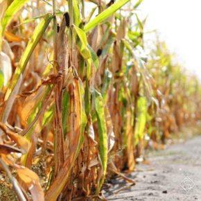 Аграриям Сумщины продемонстрировали, как можно улучшить результаты выращивания кукурузы