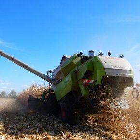 На Волыни начали собирать кукурузу