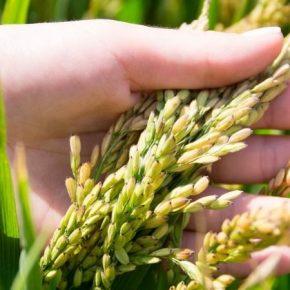 На юге Украины стартовали жатва риса