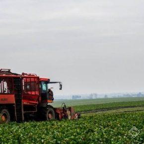 С полей начали собирать сахарную свеклу нового урожая