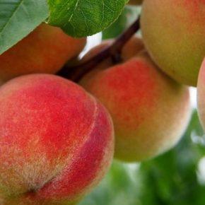 Фермер со Львовщины выращивает 36 сортов персика