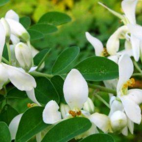 В качестве природного биостимулятора растений ученые предлагают использовать морингу