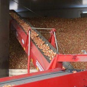 Аграрии поделились опытом выращивания лука в промышленных масштабах