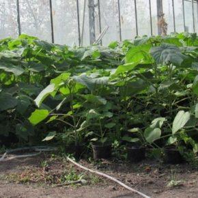 В кооперативе на Кировоградщине выращивают высокоэнергетичускую павловнію